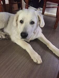 Maremma SheepDog for sale. Springvale Greater Dandenong Preview