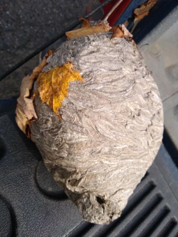 Bald Faced Hornets Nest. Camp decor, taxidermy.