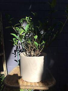 Jasmine plant and pot Prahran Stonnington Area Preview