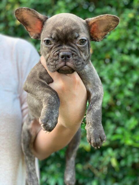 French Bulldog | Dogs & Puppies | Gumtree Australia Inner
