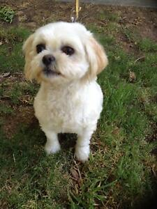 Millie - Maltese Shitzu now available for adoption Williamstown Barossa Area Preview