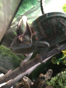 Veiled Chameleon MALE  EVERYTHING INCLUDED $200