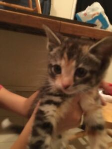 Free kittens looking for a forever home two left