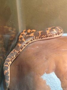 Kenyan Sand Boa with everything pick up only