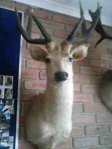 deer head rusa good codition Lakes Entrance East Gippsland Preview