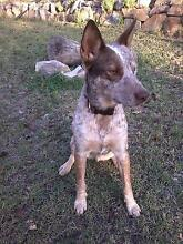 Red Heelerxcollie 18mnths sweet nature desexed vaccinated Widgee Gympie Area Preview