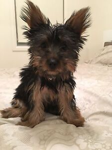 FEMALE FULL REGISTRY SILKY AUSSIE TERRIER 2.5kg PUPPY-ALL VACS Pyrmont Inner Sydney Preview