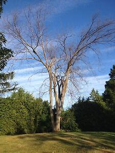 Tree Service/Removal Kingston Kingston Area image 9