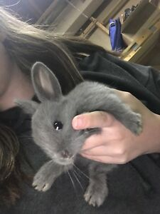 Baby lion head / dwarf bunny for sale
