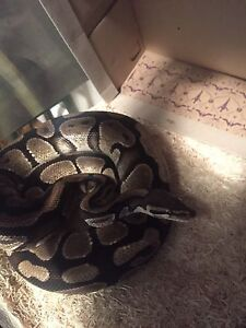 Ball Python - Everything Included