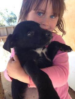 Kelpie pups for sale Temora Temora Area Preview