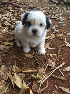 Tiny Toy Size Maltese X Shih Tzu Dogs Puppies Gumtree
