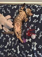 Rescue kitten (male tabby, 10wks old) desexed, chipped, 1st vaccine Ottoway Port Adelaide Area Preview