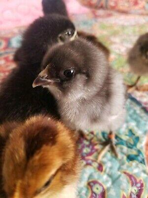 6 Fresh Fertile Chicken Hatching Eggs - Olive Egger