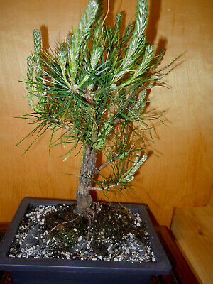 11 YEAR OLD FORMAL UPRIGHT  JAPANESE BLACK PINE ONE INCH TRUNK -