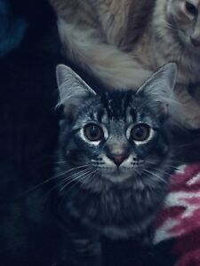 Rag Doll/Maine Coon and Himalayan/Maine Coon kittens for sale