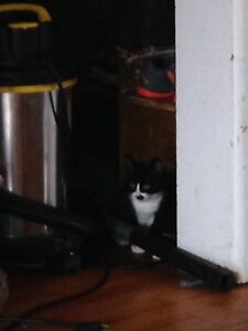 Black and white 9 week old kitten20$