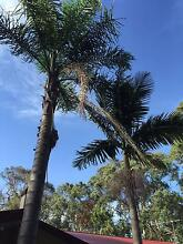 Palm Trees, established and young for removal Melbourne Region Preview