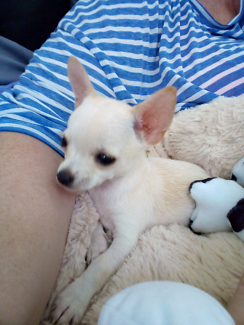 Wanted: Wanted female pure bred Chihuahua puppy
