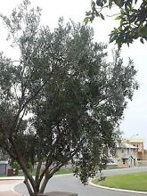 Olives ready for picking - tree being pruned this week, so hurry! Burns Beach Joondalup Area Preview