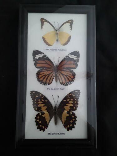 Beautiful Real Framed Butterflies