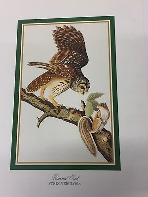 Audubon - BARRED OWL  - Bird Print 25.5 cm x 19.5 cm Vintage Art Birds