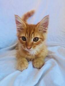Fluffy Ginger Rescue Kitten (Desexed, Vaccinated, Microchip)