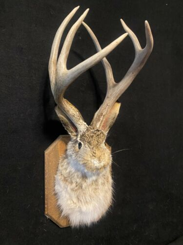6 Point Whitetail jackalope Real Antlers Home Decor Gifts Taxidermy Unique