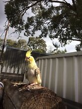 Lost baby cockatiel Montmorency Banyule Area Preview