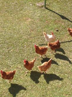 2 Isa brown &1 Leghorn Hens-Chickens 3 Total + Free Range 12 eggs Sydney City Inner Sydney Preview
