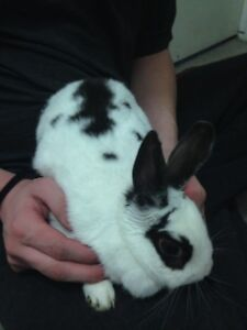 2 year old dwarf bunny rabbit needs knew home