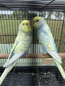 Rainbow Budgie pair