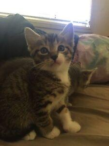 Male kittens Kurri Kurri Cessnock Area Preview