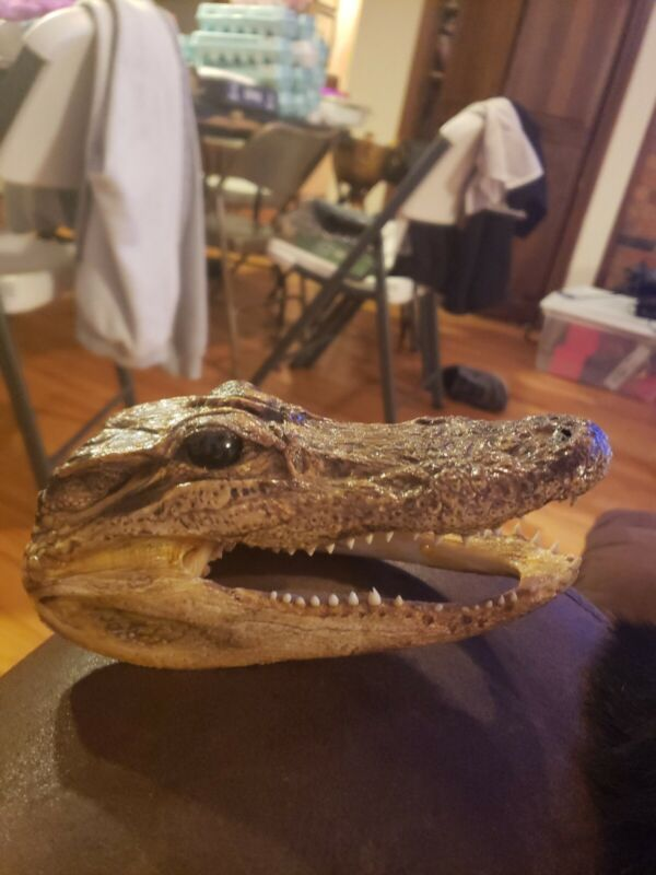 Aligator Head 6.5 Inches in length