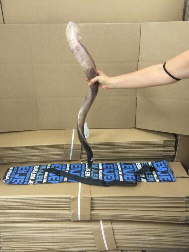 "Kudu Yemenite Horn Shofar Between 36-37"" Kosher All Polish + Bag + Gift Spray"