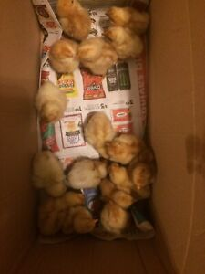 Chicks, nice and Healthy