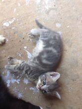 5 gorgeous & playful kittens Campbelltown Campbelltown Area Preview