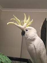 HELP!!  LOST SULFUR CRESTED COCKATOO WYNDHAM VALE AEEA Wyndham Vale Wyndham Area Preview