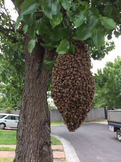 Wanted: FREE BEE SWARM RESCUE/REMOVAL EAST/SOUTH/SUBURBS AND SURROUNDING