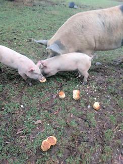 Sow Saddle back pig piglets