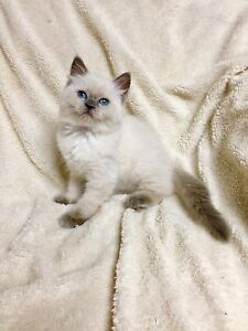 Gorgeous Female Blue Point Ragdoll Kitten