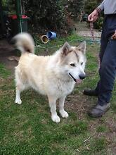 Malamute for adoption - Snowy Oakdale Wollondilly Area Preview