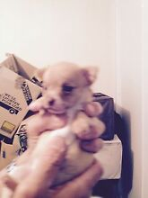 Chihuahua babies Castlecrag Willoughby Area Preview
