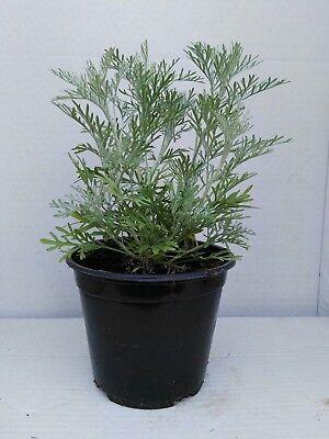 Pianta di Artemisia Absinthium vaso 14 Piante Aromatiche Erbe Aromatiche
