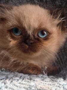 Himalayan cats for sale nova scotia