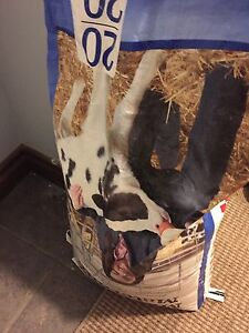 Purina milk replacer cow