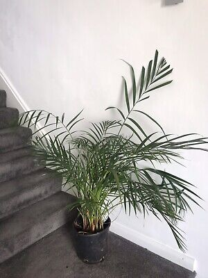 Areca Plan Tree. Large House Plant