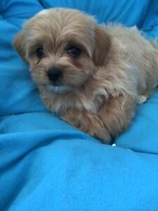 Cavoodle puppies The Oaks Wollondilly Area Preview