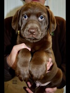 READY TO GO CKC REGISTERED CHOCOLATE AND BLACK LABRADOR PUPS