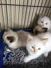 ragdoll kittens Bass Hill Bankstown Area Preview